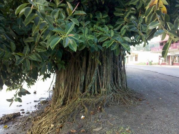 Bán cây đa đại thụ